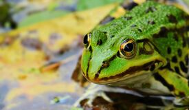 Frog, Green, Green Frog, Pond Royalty Free Stock Photo
