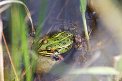 Frog. A green frog inside a pond Royalty Free Stock Images