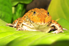 Frog on green leaf Royalty Free Stock Photography