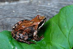Frog. On a green leaf Stock Images