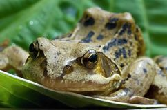 Frog. On a green leaf Stock Image