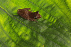 Frog on green leaf Stock Images
