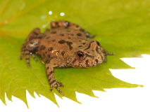 Frog on green leaf, isolated on white background, Royalty Free Stock Photography