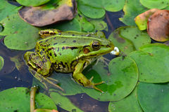 Frog. Green frog in a lily on the river royalty free stock photography
