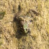 Frog. Stock Images
