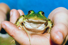Frog. Green frog in the palm of your hand Royalty Free Stock Photography