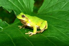 Frog on a green sheet Stock Photography
