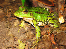 Frog. A green frog sits ashore and  surprised looks at us Stock Photography