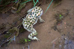 Frog with green spots in the water Royalty Free Stock Photo