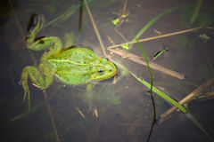 Frog, green toad in the water. Royalty Free Stock Photography