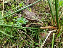 Frog is in the greens. Summer,frog,leaves,plants,ground,Frog is in the greens Royalty Free Stock Images