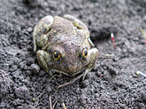 The frog on the ground.  royalty free stock photos