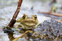Frog on guard. Frog besides a heep of spawn Stock Photography