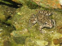 It is a frog that had come out of the water. Nit is a frog that had come out of the water lake. swamp, stones, seaweed, amphibian, frog, green, eyes, slick Royalty Free Stock Image