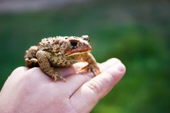 Frog in hand Royalty Free Stock Photos