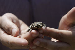 Frog in the hand. S of a child Royalty Free Stock Photos