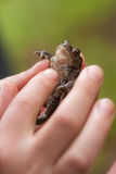 Frog in a hand Royalty Free Stock Photos