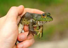 Frog in hand Stock Photography