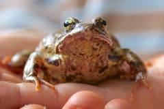 Frog on the hand Stock Photo