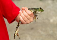 Frog in hand Royalty Free Stock Images