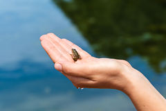 Frog in the hand Stock Photography