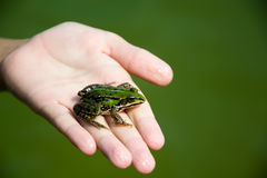 Frog on hand in pond Royalty Free Stock Photography