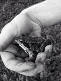 Frog in hand. Relaxed frog in hand Royalty Free Stock Photo