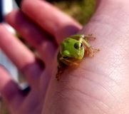Frog on Hand royalty free stock image