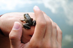 Frog on Hands Stock Image