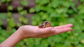 Frog in hands of woman. Frog in hands of woman on green background. 4k stock footage