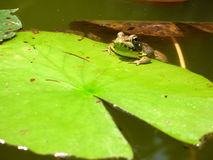 Frog Hanging On. To the edge of a lily pad Stock Photo