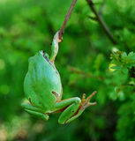 Frog hanging royalty free stock photos