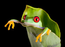 Frog hanging out. Red-eyed tree frog hanging out of a fresh banana leaf Stock Photos