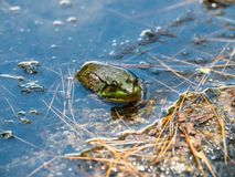 A Frog Hanging Out In The Water. royalty free stock images
