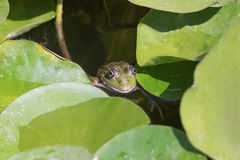 Frog head coming out of a swamp against the water lilies. Stock Photo