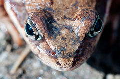 Frog head macro. A macro image of a frog with focus on the nostrils and eyes Royalty Free Stock Photos