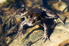 The frog is heated Royalty Free Stock Photos