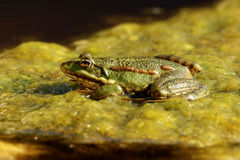 Frog is heated in the sun Stock Photography