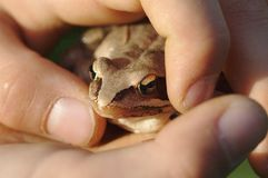 Frog held in both hands royalty free stock photography