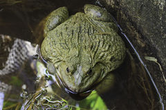 Frog after hibernation on meadow. Royalty Free Stock Photo