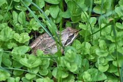 The frog hid in a forest glade. The frog hid in the grass in a forest glade stock image