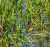 Frog hidden among the reeds royalty free stock photography