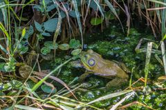 Frog hidding in leafy pond. Frog sitting in a green pont surrounded by leaves Stock Images