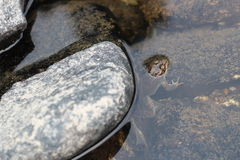 A Frog Hides Behind a Rock Stock Images
