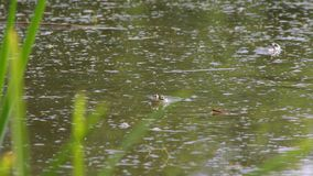 Frog in the swamp. The frog hides in the lake water stock video