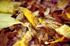Frog hiding in autumn leaves Stock Image