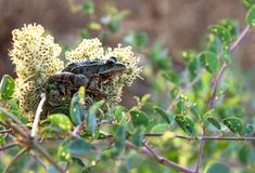Frog Hiding in a flower Stock Photography