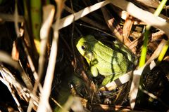 Frog hiding in the grass. A picture of a green frog hiding in the grass Stock Image