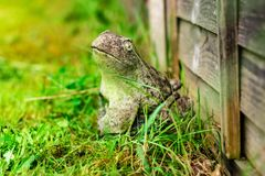 Frog hiding in the grass stock images