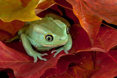 Frog hiding in leaves Royalty Free Stock Photo